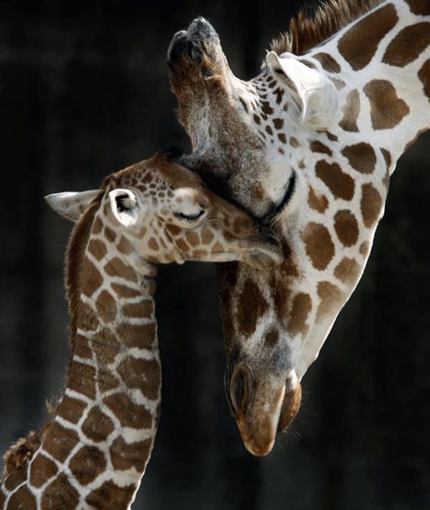 baby giraffe and mom | Source of Inspiration