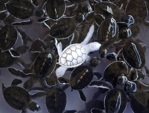 albino green sea turtle