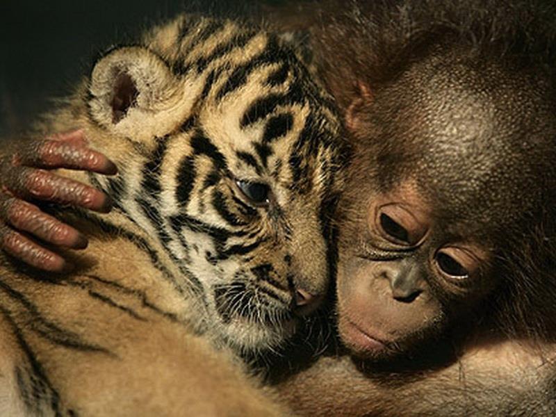 De belles images d'amitié Baby-monkey-and-baby-tiger
