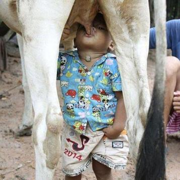 baby nursing cow