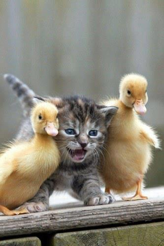 kitten and ducklings
