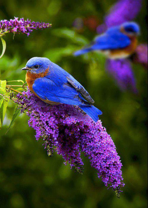 blue bird on liliac