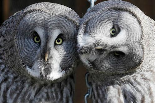 lapland owls
