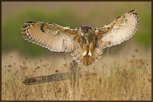 owl landing