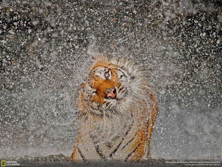 tiger shaking water