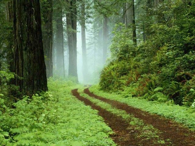 forest fog