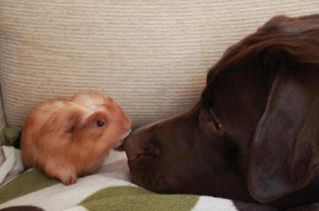 guinea pig and dog