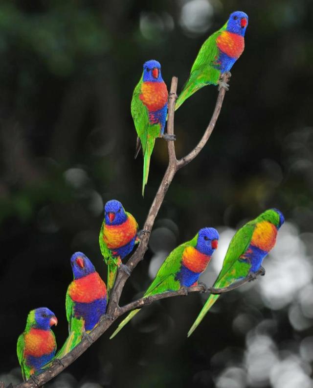 Australian-Rainbow-Lorikeets