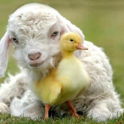 lamb and duckling | Source of Inspiration  Duckling