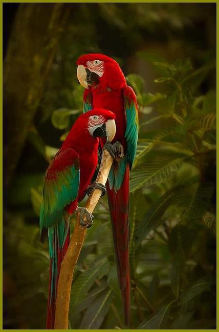 red parrots3