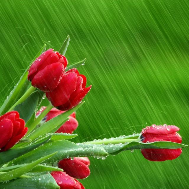 rain on tulips