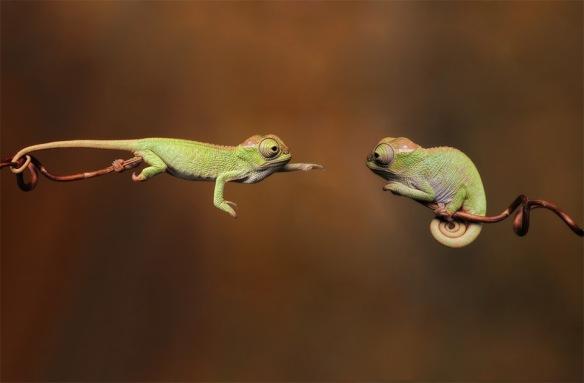 baby-chameleons