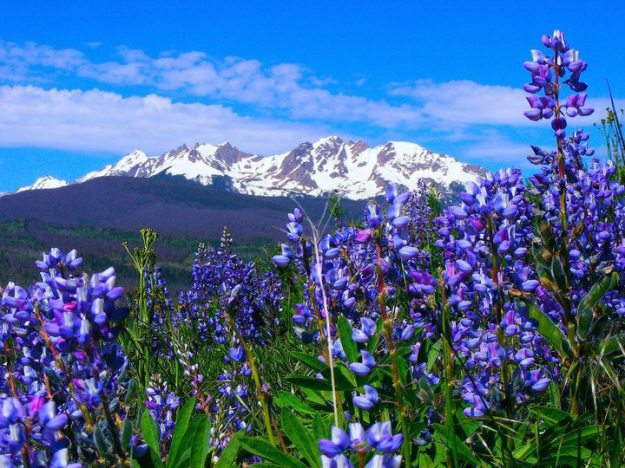 bluebells with mountains