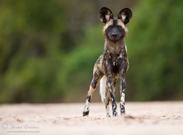 african-wild-dog-lycaon-pictus