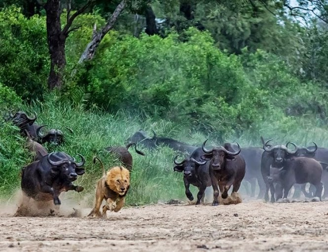 lion chased