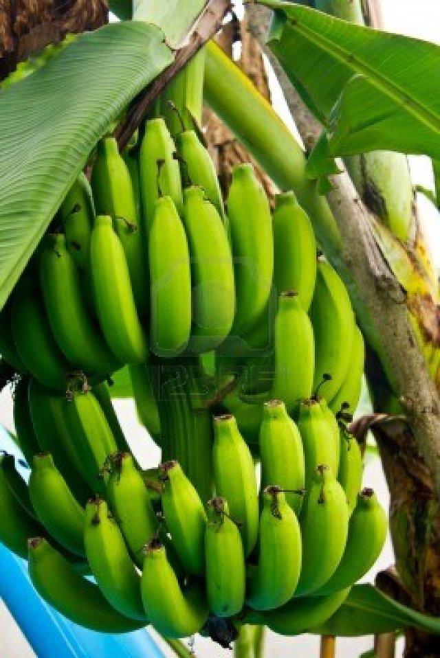 Green Bananas | Source of Inspiration