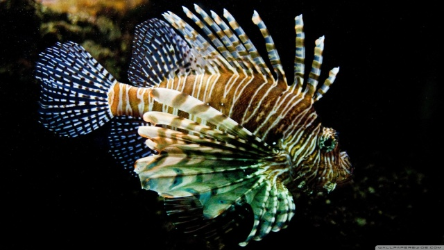 lionfish-wallpaper-1600x900