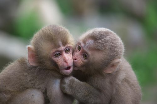 monkey kisses