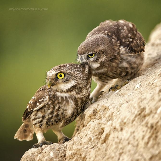 Little_Owls_Photos_by_Tat'yana_Zherebtsova_