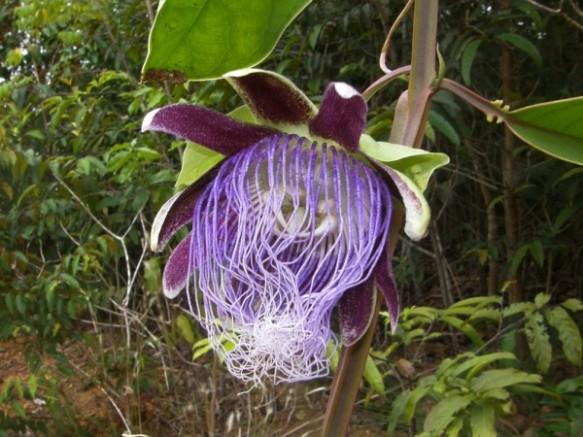 Passiflora-longifilamentosa-Joao-Batista-Fernandes-da-Silva
