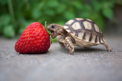 turtle with strawberry