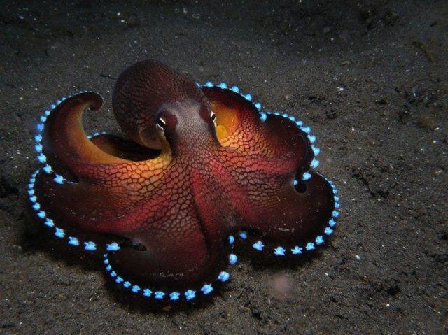 coconut-octopus-glowing-veined-octopus-amphioctopus-marginatus