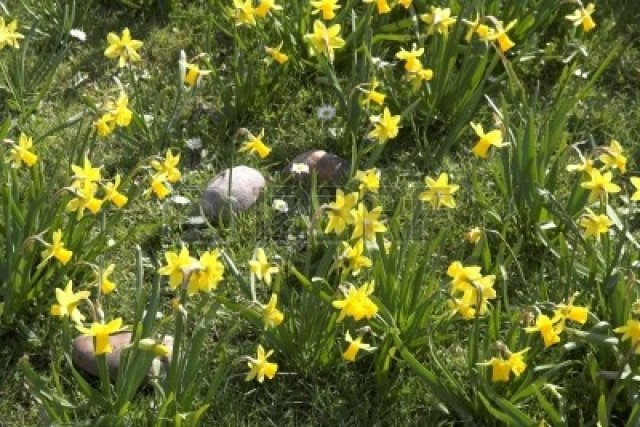 820427-large-pebbles-amidst-daffodils-with-daisies-in-between