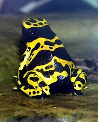 brazilian frog