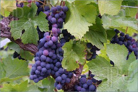 Blue-Purple-Grape-Clusters-116147