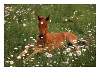 colt in daisies