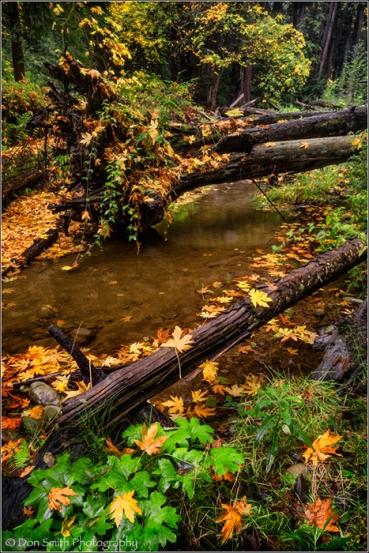 Maple Leaves and Aptos Creek