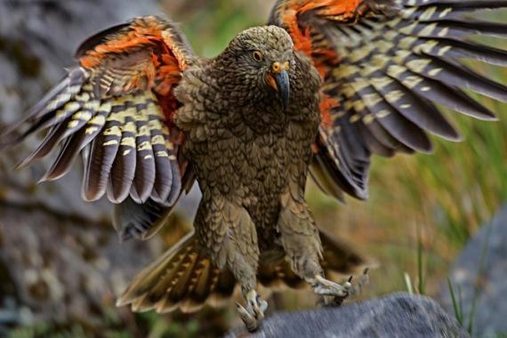 06-kea-threatened-alpine-parrot-670