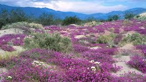 desert flowers1