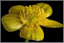 flower with five petasl