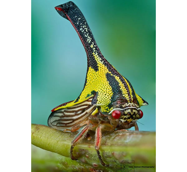 thorn bug