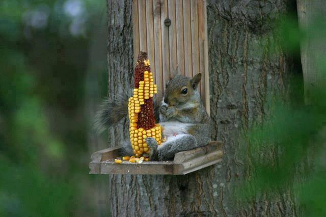 squirel and corn
