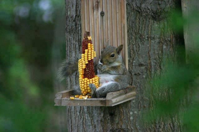 squirel and corn