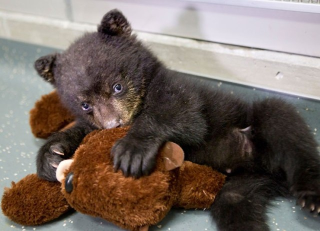 baby-bear-play-with-teddy-bear
