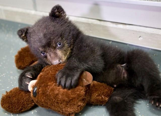baby-bear-play-with-teddy-bear
