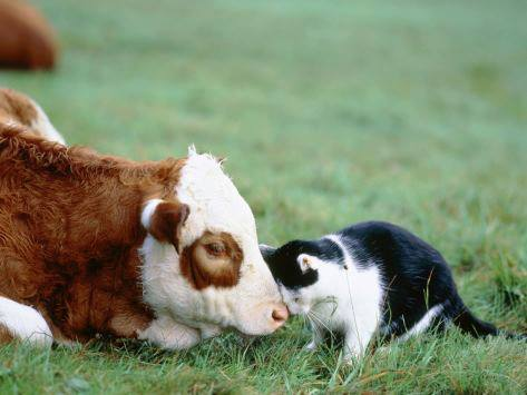 cat and calf