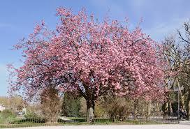 cherry tree2