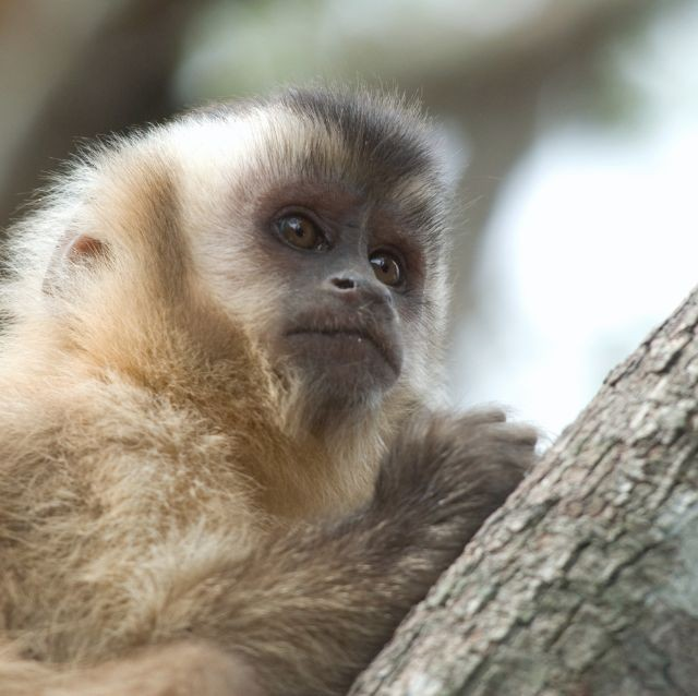 monkey brazil