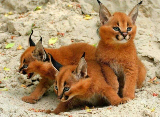 Caracal kittens
