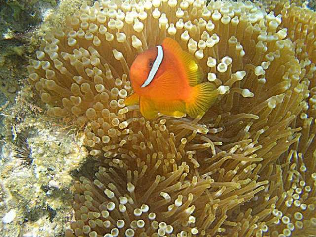 clownfish-sea-anemone