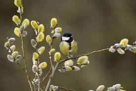 pussy-willow-and-bird