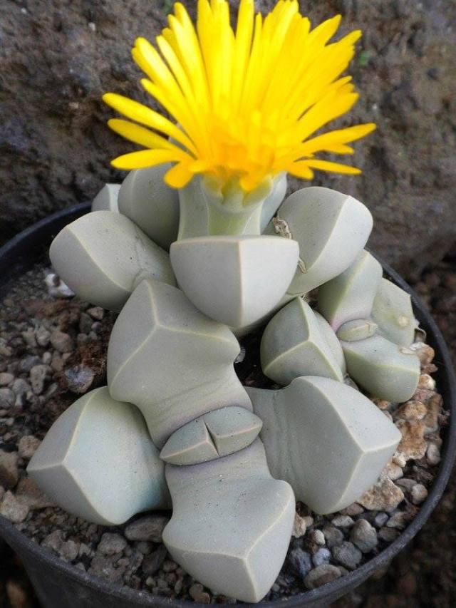 lapidaria-margaretae