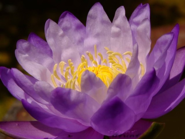 waterlily_seeds_purple_good_smell_